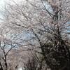 木曽三川・船頭平河川公園と海津・大榑川堤の桜