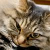 猫が寝落ちする瞬間。寝落ちまでの30秒。さくらの場合