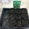 菜園:レタスの種まき