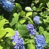 紫陽花と言えば北鎌倉の明月院!梅雨の季節はもうすぐそこです