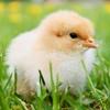 フランスでひよこの殺処分禁止。卵の生産方法を知っていますか?