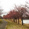 宮島池公園の河津桜