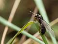 【琴似発寒川】発寒川緑地で昆虫撮影。アリの結婚飛行に立ち会う。