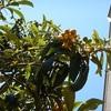 幼稚園のビワの木(5月下旬)