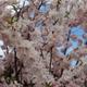 穂咲八重彼岸桜