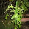 9/10 夏オクラ植えてみました。 31日目