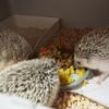 ごはんを食べてくれないハリネズミ