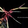 【Tillandsia streptophylla】開花