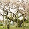 一足遅れの「しだれ桜」と龍ヶ崎御朱印巡り '20.03.28