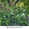 ホタルブクロ2 ホタルブクロ属の学名Campanulaは,近代ラテン語で後期ラテン語 campɑ̄na「鐘」よりつけられた名前.この属の花はほぼすべて「鐘」を連想させます.和風,洋風色々な形があるものの---  そして英語名はBellflower.例えばホタルブクロはSpotted Bellflower.斑点のあるベルフラワー. 日本でカンパニューラとして販売されているフウリンソウは,カンタベリーベル.この種にはフラワーはつけないようです.ヨーロッパ人にかかると,キキョウもベルフラワー.