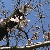 桜の開花宣言と年度末のバタバタと