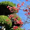 「佐久の季節便り」、「ウメモドキ(梅擬)」の葉が霜枯れて落ち…。