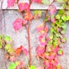 """ツタとアイビー ツタとアイビー(セイヨウキヅタ)は日本でよく間違われますが---.日本のツタは,欧米にも伝わり,アイビーリーグで知られる大学の多くの建物を覆っているばかりか,「アイビーリーグの大学のトレードマークである」とさえ,書かれています.「""""Ivy""""ばかりだとすると,秋はさみしいでしょうね.欧米の建物は,秋になっても紅葉が見られない?」などと考えるのは大間違いのようですね."""