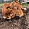 母牛モリミツ