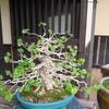 昭和記念公園 春の盆栽苑