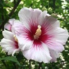 フヨウ属の花たち