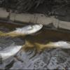 【地震前兆】茨城県南の新利根川と破竹川で中国原産の大型魚『ハクレン』が100匹以上大量死!過去には『関東大震災』の2週間前に『隅田川』でも同様に大量死する現象が!2020年発生説のある『首都直下地震』・『南海トラフ地震』に要注意!