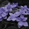 ワンポイントカラーで紫陽花を | LEICA MACRO 45mm