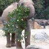 天王寺動物園 アジアゾウ