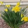 黄色いラッパスイセンで、玄関に春を呼び込もう!