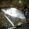 河川シーバス(ヒラセイゴ) 明暗の釣り方