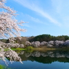 桜、花@北杜市