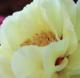 フォトブログ 豪華な牡丹の花とつつじを楽しむ。大仙公園 日本庭園にて。