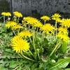 今日の散歩 見かけたのはタンポポ・ブロッコリー・菜の花