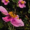 蜂とシュウメイギク(秋明菊)Anemone hupehensis var. japonica