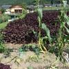 鳥害対策、土作り