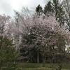 市内の桜巡り