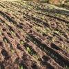 麦の芽生えと、TPPと、タネの麦踏み?