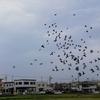 田圃に居たたくさんの鳩たち