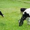 ヨーグルトやチーズを常温保存する方法!