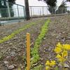 神原町花の会(花美原会)(317)  寒風の中に育ちつつある花ラインの形成を目指して