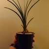 Dyckia estevesii の抜き苗を植え付けてみた。