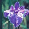 今日の誕生花「ハナショウブ」アヤメ祭りのアヤメはハナショウブが多い!