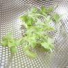 リーフレタス発芽から1ヶ月半