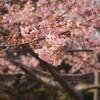 いわき市佐糠町 河津桜を見てきました