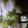 【一眼レフ】令和最初のあしかがフラワーパークで2019年4回目となる散りかけの藤を撮影(2019年6回目)
