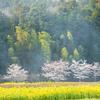 菜の花&桜・R163伊賀桜街道