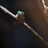 トラアシネコメアマガエル Phyllomedusa tomopterna