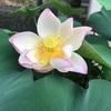 私のパワースポット 蓮の花 蓮の葉に光る露