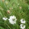 青山ハーブガーデンで見た植物② ニゲラ