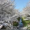 新型コロナウイルス感染で危機的状況にある東京ですが、今日も好天に恵まれた暖かい春の陽気で、野川の桜は満開となりました。