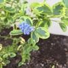 セアノサスが咲きました
