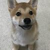 柴犬あきとの生活 37