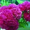 イランのバラ 国花として:「バラが国花」「多くのイラン人にバラが愛されている」ことは確かですが,根拠・いきさつはしらべきれず.しかし,具体的な根拠は別として,イランの国花がバラとされるのはごく自然なことと思われます.イランで育てられてるもう1種の重要なバラは,ダマスクローズで,その魅惑的な香りがあなたをリラックスさせ,幸せにさせます.エッセンスを抽出し,ローズウォーターを作るために栽培されています.