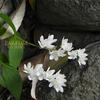 ヒメウツギ himeutsugi  Deutzia gracilis