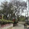 ネパ-ルの樹木と花 第1回目 ジャカランダ